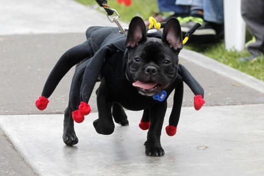 Fantasias para cachorros aranha